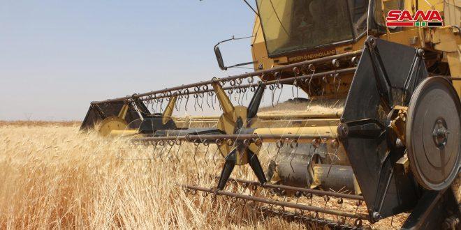 فلاحو درعا يواصلون حصاد محصول القمح البعل